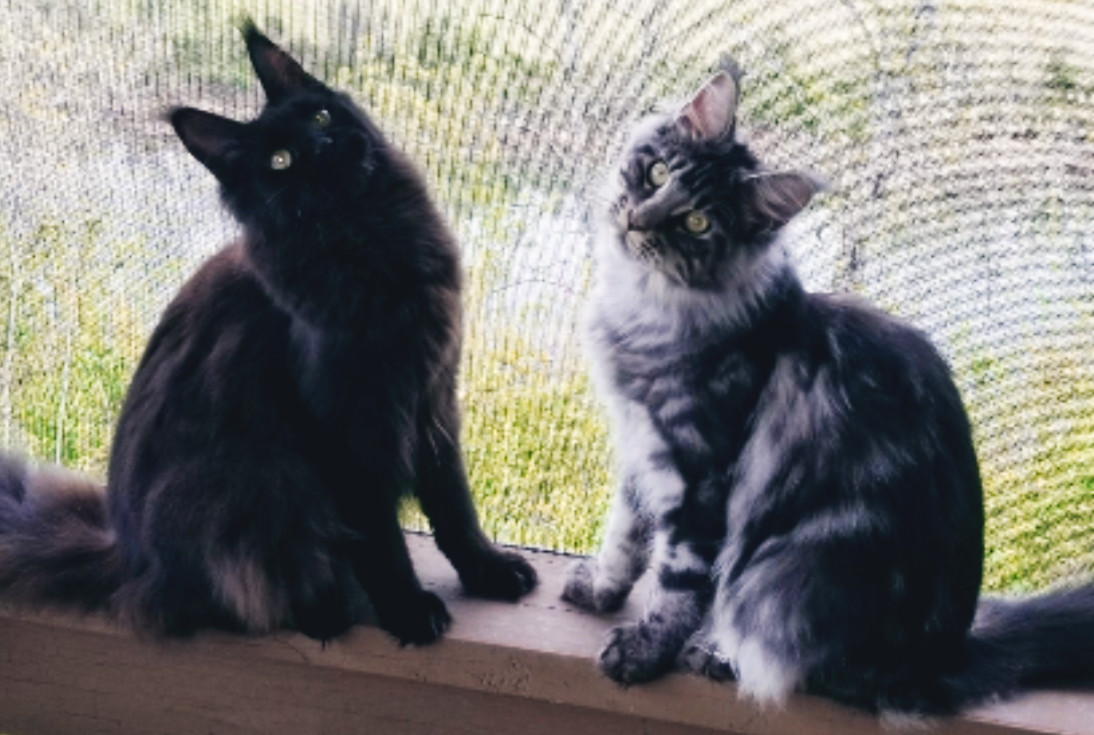 Our Maine Coon Queens