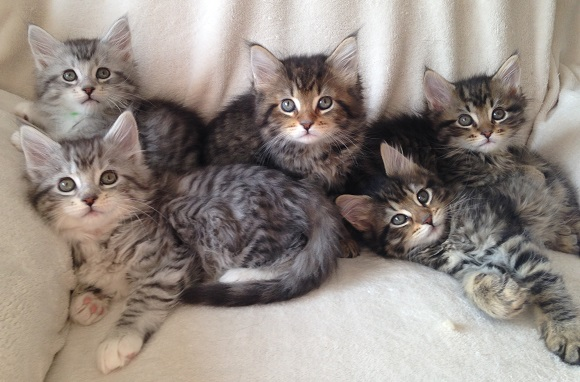 Maine Coon Kittens Sterling And Kismet