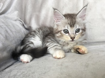 Gorgeous Silver and Brown Maine Coon Kittens For Sale