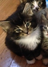 Maine Coon Kittens For Sale Serenity And Sampson
