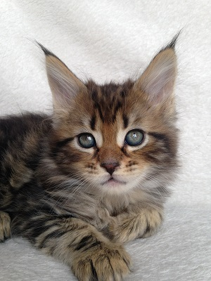 Jim Brown Today >> Maine Coon Kittens for Sale Sampson and Essie
